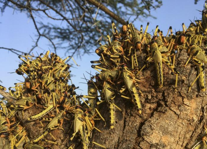 Locusts swarm on a tree south of Lodwar town in Turkana county, northern Kenya Tuesday, June 23, 2020